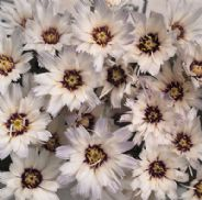 Catananche caerulea Amor White - 20 seeds
